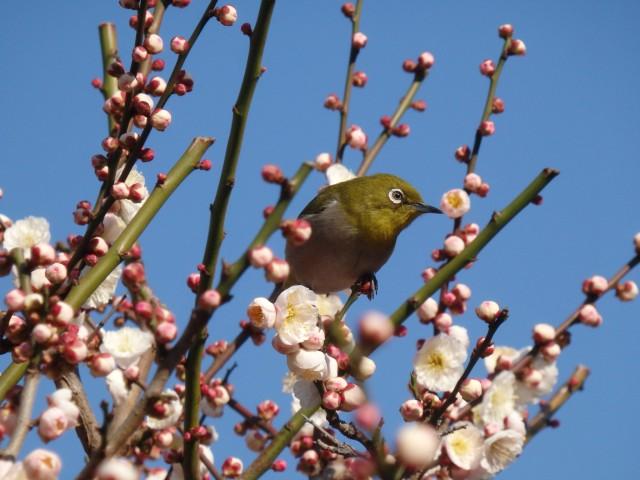 bird in a plum tree Hanami